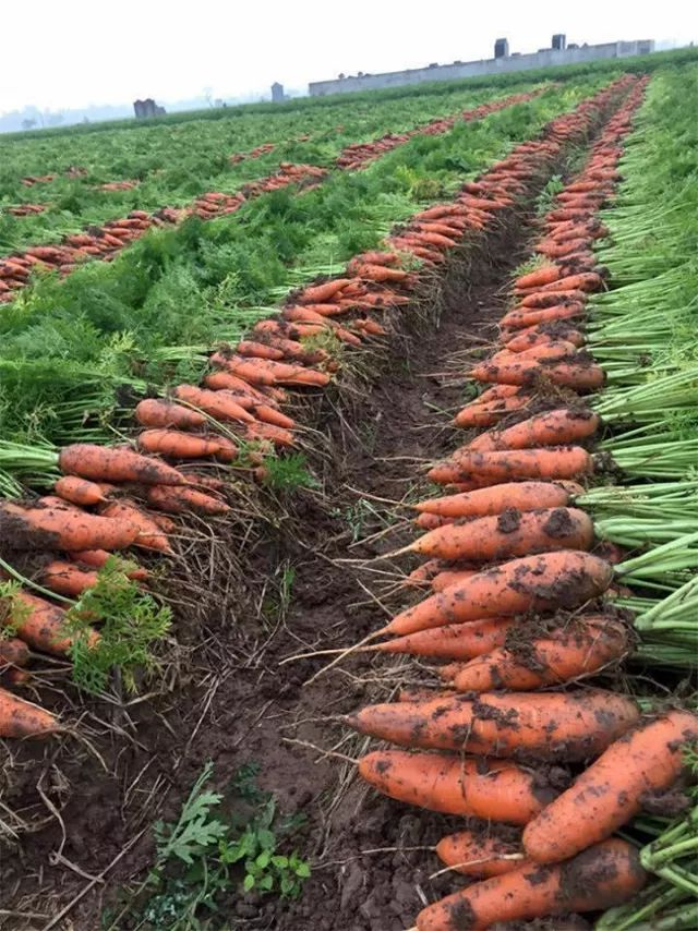 Harvest carrots in field
