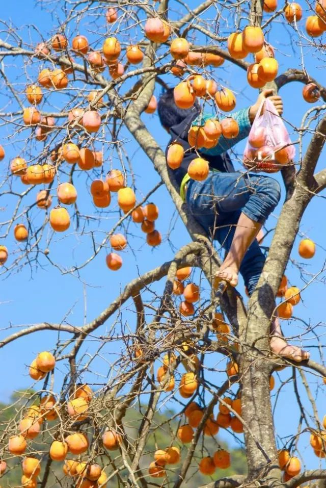 farmer is harvesting persimmons on the tree