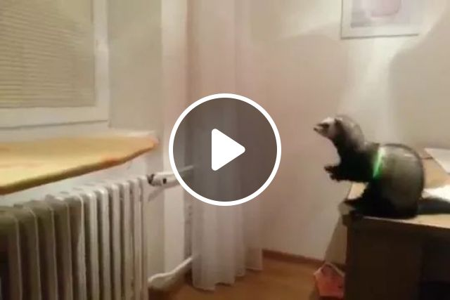 Otter jumps from table to ground