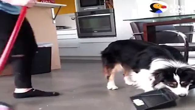Smart dog knows how to do everything in house