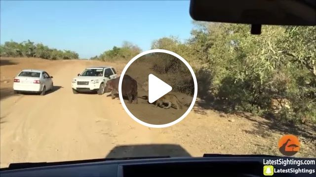 Hippo attacks car, when hippo is chased by lions