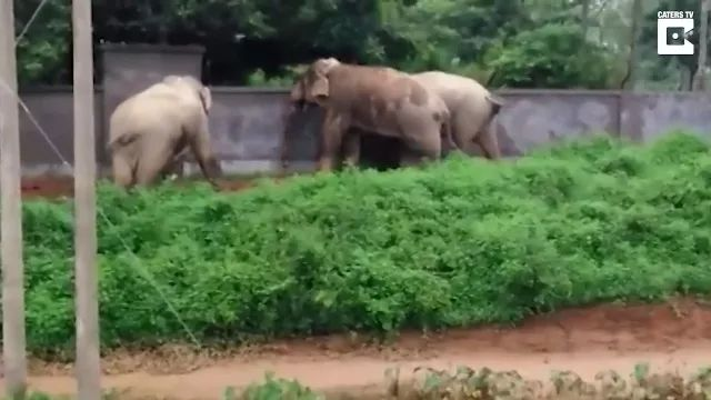 Smart elephants climb brick wall