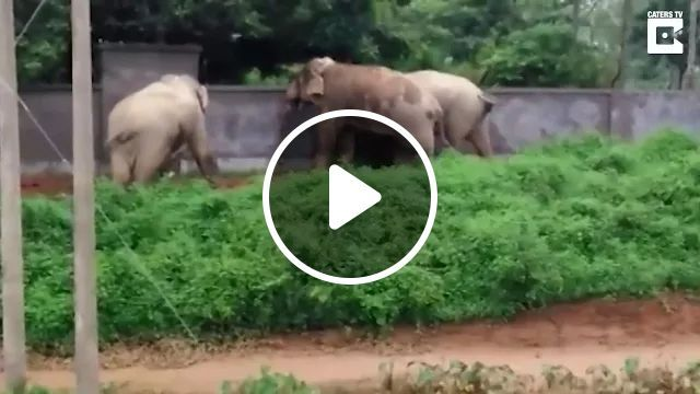 Smart elephants climb brick wall, Smart elephants, brick walls, wild animals