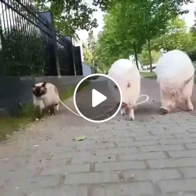 on the sidewalk of cats and pigs looks friendly, Friendly animals, caring animals, cute cats