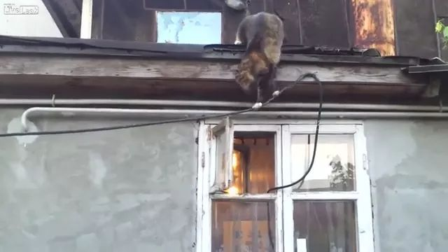 smart cat climbed from roof onto rope through window and entered house