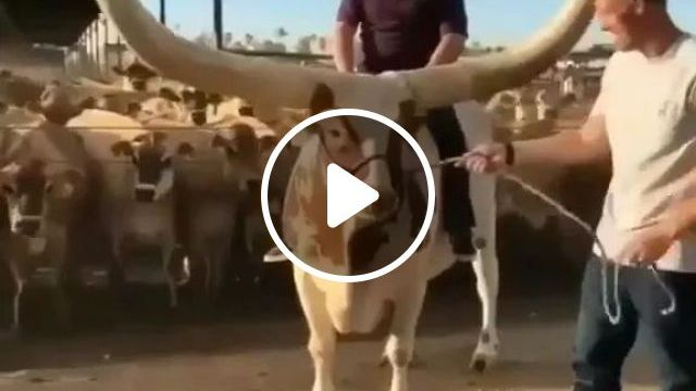 Lord Of Horns - Video & GIFs | animal, horn, performance, nature, travel