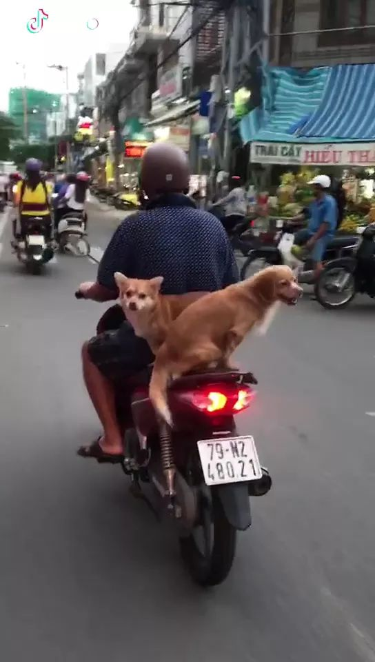 on the road, two dogs were carried by a man on a motorbike - Video & GIFs | street, luxury cars, dogs, adorable, animal, pet, men, carrying, by motorbike, luxury vehicles