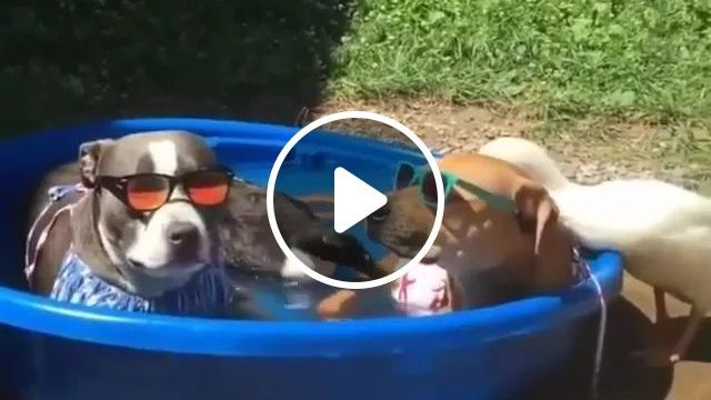 In Summer, Two Sunglasses-wearing Dogs Sit In Plastic Basin With Water - Video & GIFs | summer, sunglasses-wearing, dogs , plastic basin, cooling