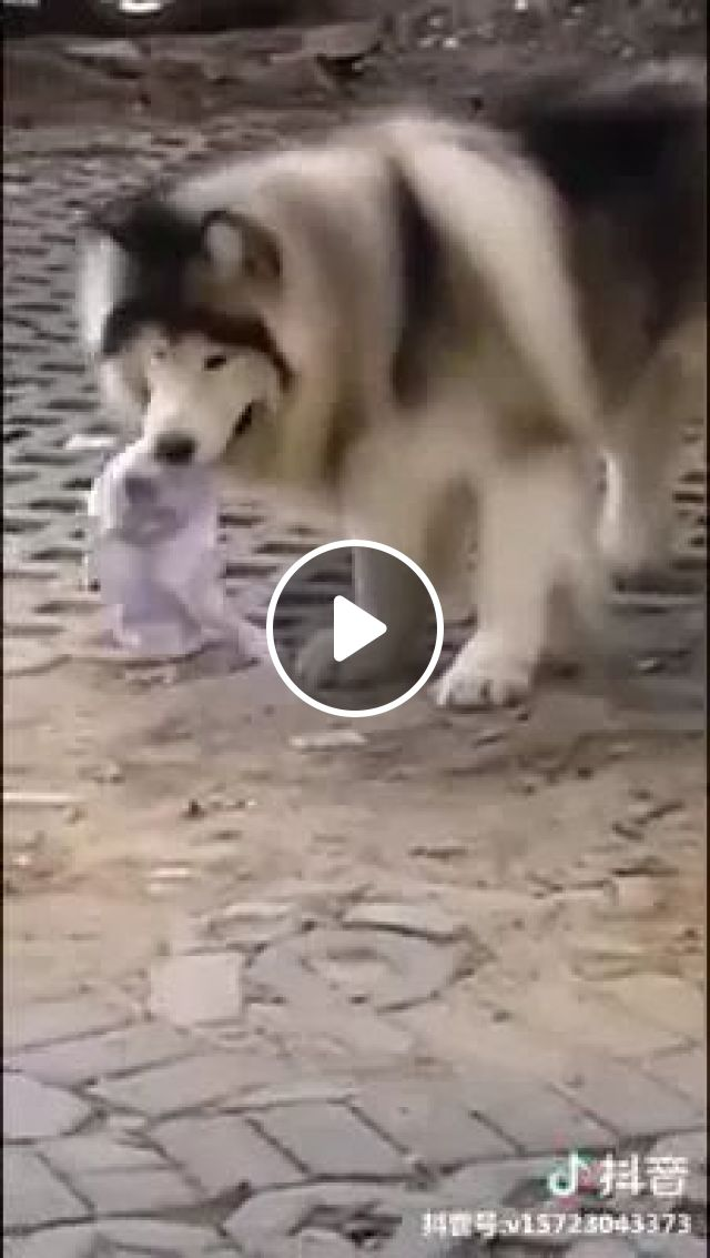 Dog Is Holding A Strange Object On The Road - Video & GIFs | smart dog, dog breeds, husky dogs, funny animals, American street, American travel