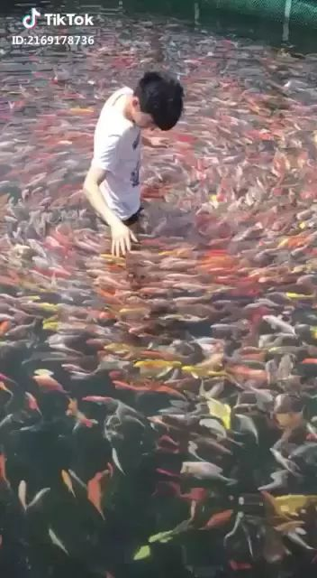 Many fish follow a man in pond