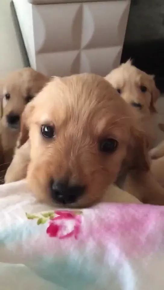 Golden retriever wants to climb into bed