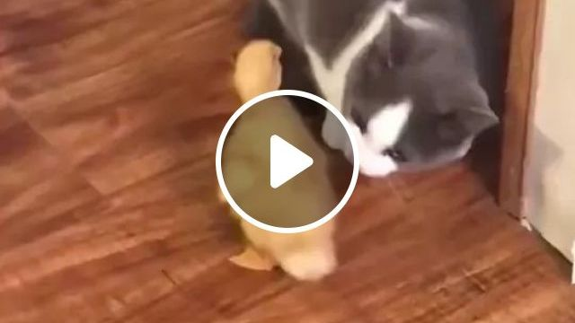 Baby Duck Wants To Make Friends With Cats In Kitchen - Video & GIFs | ducklings, want to make friends, cats, kitchen, luxurious furniture