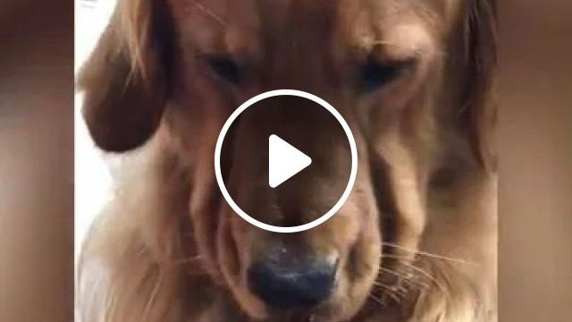 Big Pieces Or Little Pieces - Video & GIFs   food dog, yellow dog, cute dog, funny animal