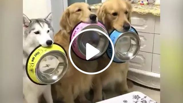 Three Dogs And Two Cakes, What To Do - Video & GIFs   dog breeds, smart dogs, good food, dining tables