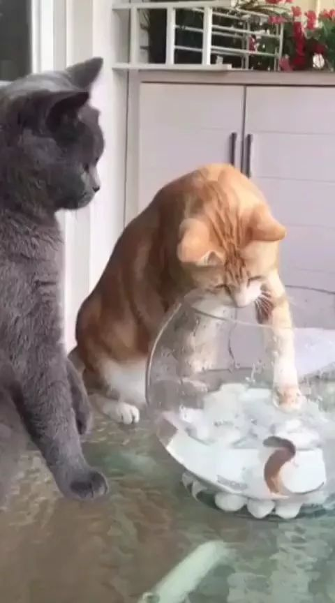 Black cat does not want yellow cat to play with fish in kitchen - Video & GIFs | cat, fish, adorable, water, fish tanks, ornamental fish,kitchen, kitchen furniture, kitchen equipment