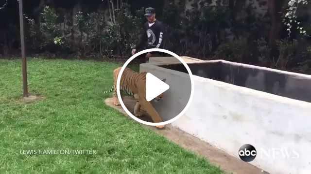 Friendly tiger in American zoo