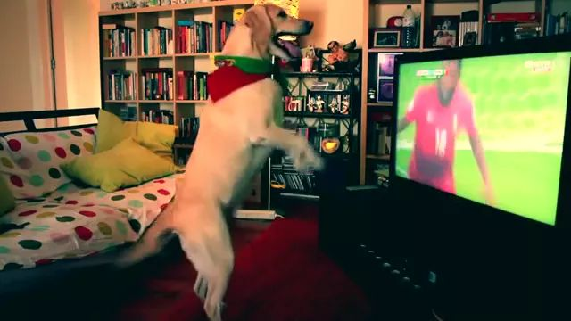 In living room, dog watching football matche on TV was happy when player scored