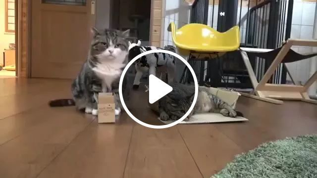 Cat Tried To Slip Into A Small Carton Box In Living Room - Video & GIFs   Cats, animals, pets, small carton boxes, living rooms, luxurious furniture