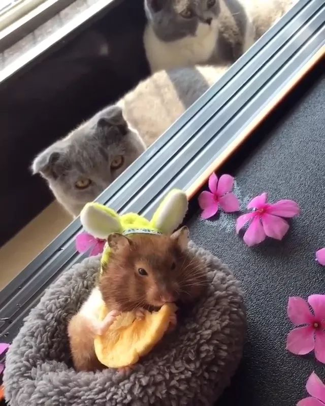 cat is watching mouse eating fries on the sofa - Video & GIFs | American cats short fur, funny animals, delicious food, cute mouse, purple flowers, luxury sofa