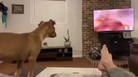 Here's what dogs see when they watch television
