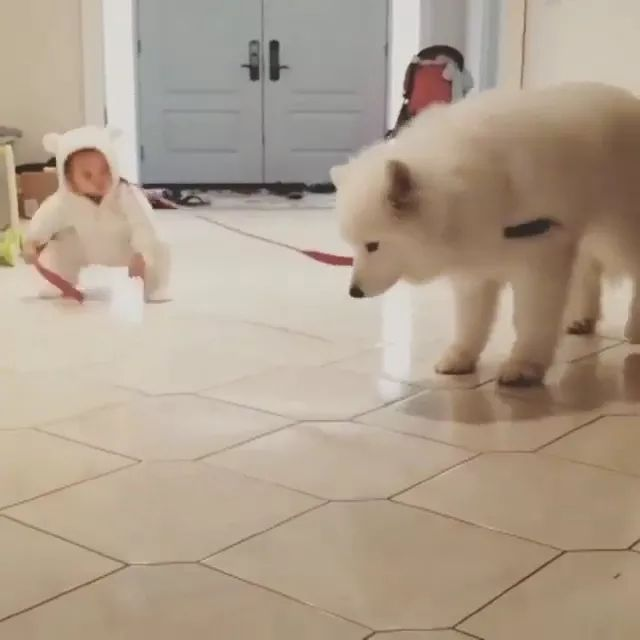 child tried to pull giant dog with a dog leash