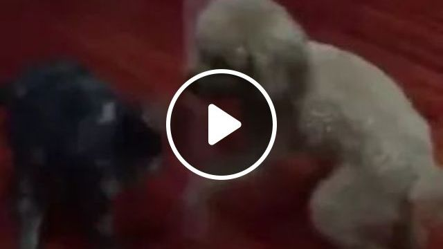 Dog And Cat Play In Living Room - Video & GIFs | animals, pets, dogs, cats, dog breeds, living rooms, apartments, furniture