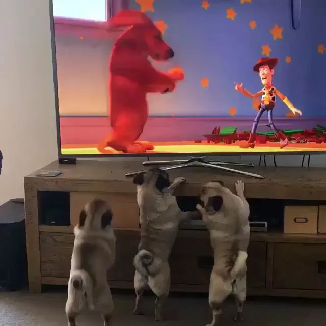 Puppies love to watch cartoons on television in living room