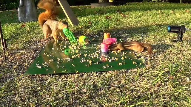 Squirrels playing in park