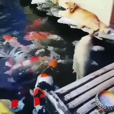 Cats love to play with ornamental fish