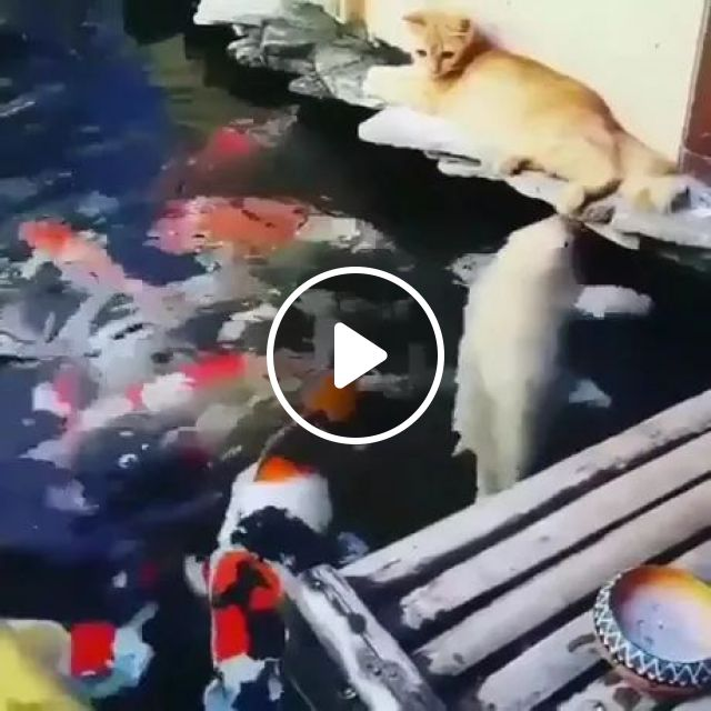 Cats Love To Play With Ornamental Fish - Video & GIFs   Cute cats, cat breeds, ornamental fish, friendly animals