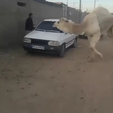 Maybe camel just wants some love