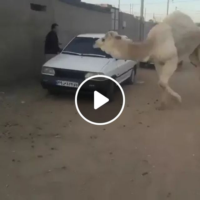 Maybe Camel Just Wants Some Love - Video & GIFs   Funny camels, luxury cars, dubai streets, smart man