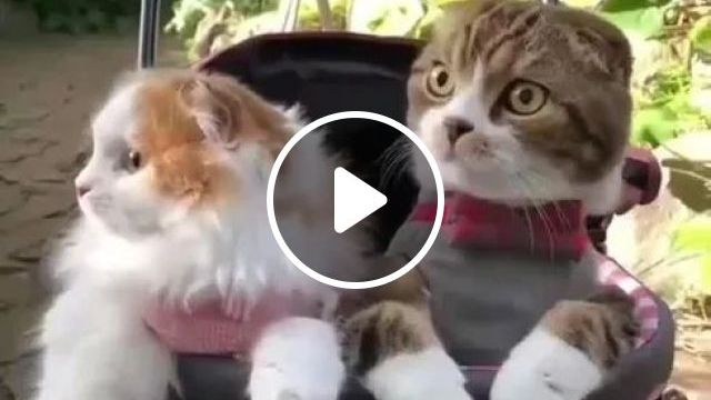 Cats In Baby Stroller While Traveling - Video & GIFs | animals, pets, cats, cat breeds, baby stroller, Japan travel