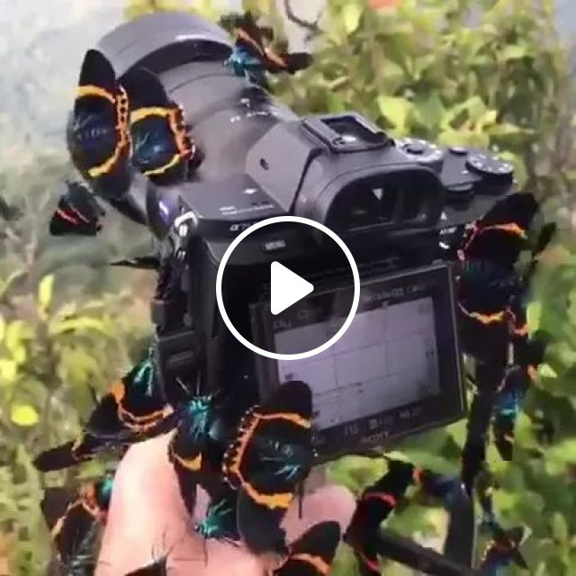 Butterfly paradise in Kampot, Cambodia, nature, animals, cameras, butterflies, Cambodia travel, Asia travel