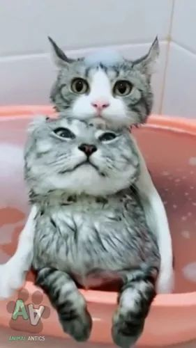 Two lovely cats in a basin of water - Video & GIFs | cat, kitty, adorable, water, basin of water