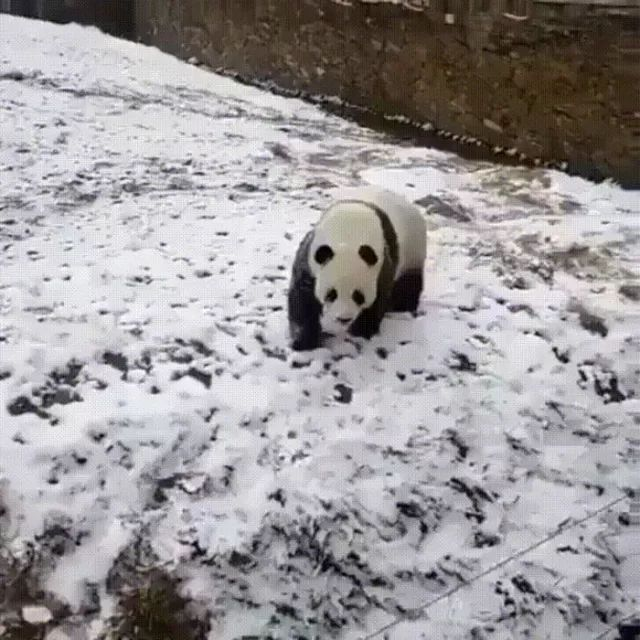 Intelligent panda moves down slope in Chinese zoo