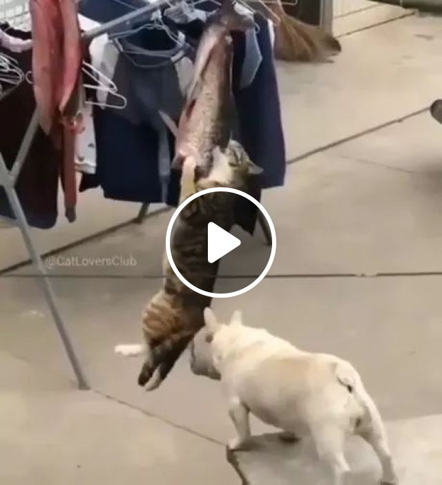 puppy helps cat get fish from rope, french bulldog, bull terrier, cat, dog, adorable