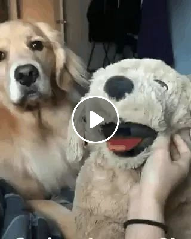 Oh You Think This Is A Game. - Video & GIFs | dog yellow fur retriever, funny animal, smooth mattress, dog care