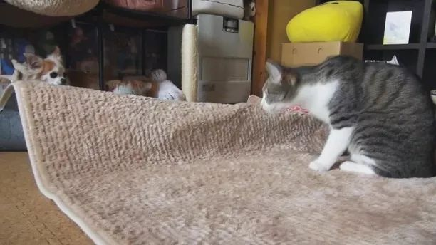 cat is dancing on the carpet in living room