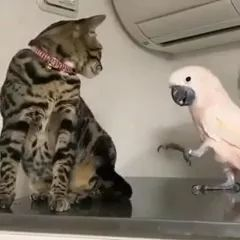Poor parrot wants to play with cat in living room