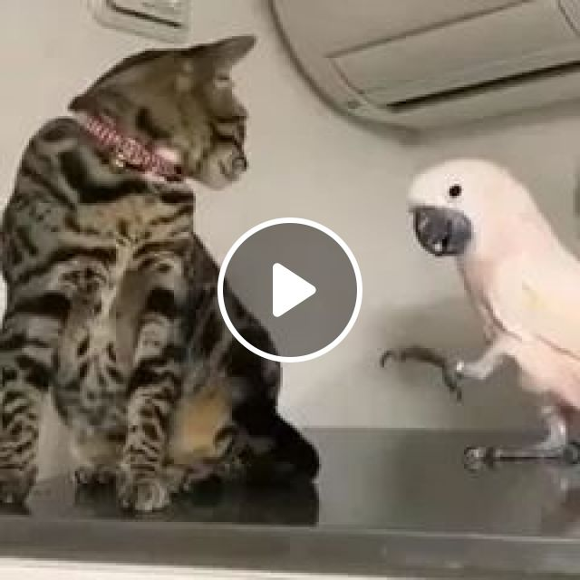 Poor parrot wants to play with cat in living room, Animals, Pets, Parrots, cats, cat breeds, living rooms, apartments, furniture, air conditioning