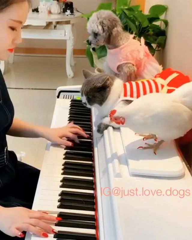 Piano and pets - Video & GIFs | Piano performances, musical instruments, dog breeds, cute cats, smart chickens, cute animals