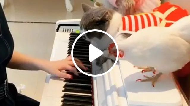 Piano and pets, Piano performances, musical instruments, dog breeds, cute cats, smart chickens, cute animals