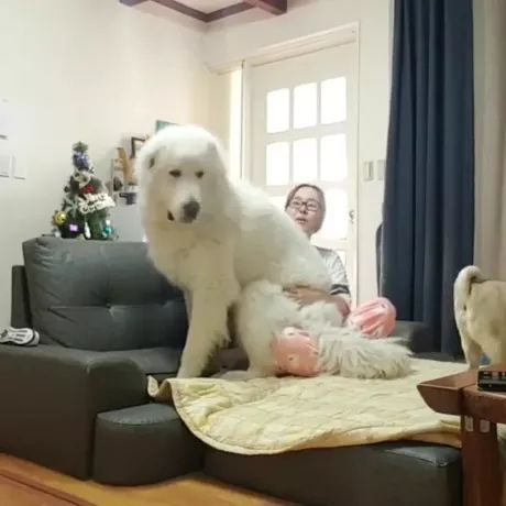 girl and dog are playing in living room - Video & GIFs   animals, girls, female fashion, pooch, dog breeds, living room, furniture, apartment