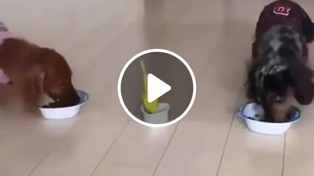 Eat lunch of dogs and parrot, Cute dogs, dog breeds, yellow parrot, funny animals