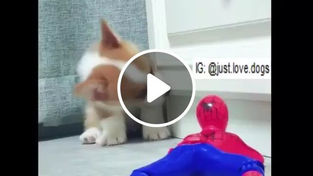 Spiderman Toy And Puppie - Video & GIFs | spiderman toy, puppy, adorable, funny, pet, animal