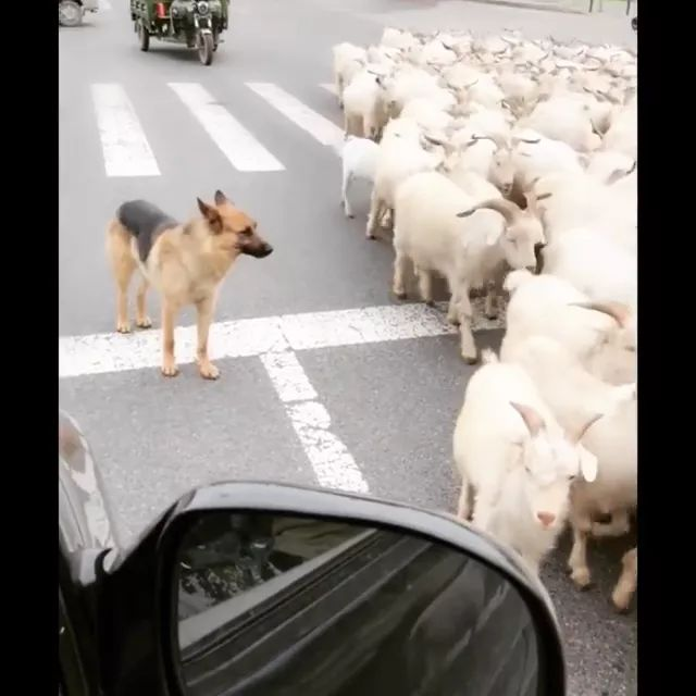 dog guides goats on the street