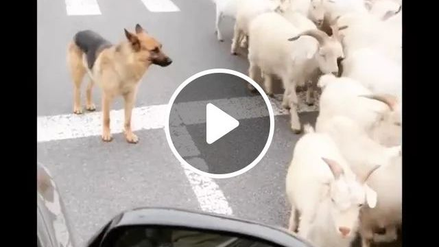 Dog Guides Goats On The Street - Video & GIFs | dog, guide, goat, on the street, luxury car, rearview mirror, traffic