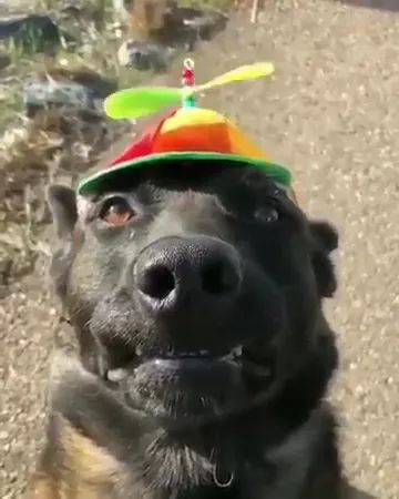 dog wore a hat and pinwheel that looked lovely
