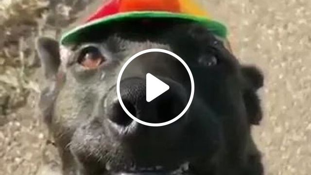 Dog Wore A Hat And Pinwheel That Looked Lovely - Video & GIFs | dog, adorable, wearing a hat, pinch, looking, lovely, pet